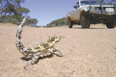 Thorny Devil unterwegs