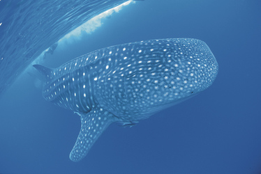 Walhai am Ningaloo Reef