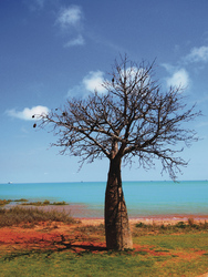 Boab Baum in Broome