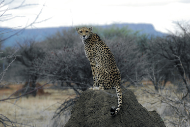 Leopard am Waterberg