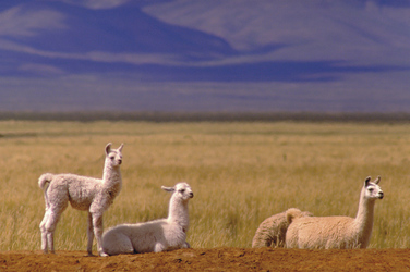 Alpacas in Jujuy
