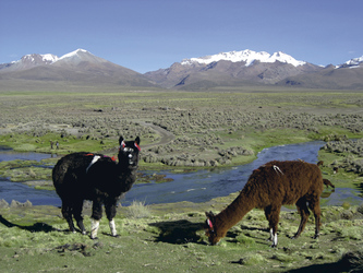 Alpacas im Sajama Nationalpark