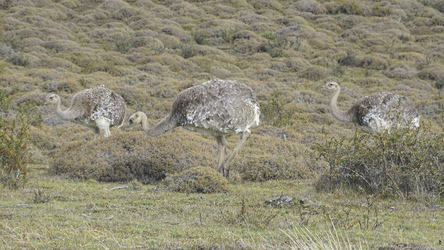 Nandus im Nationalpark Torres del Paine