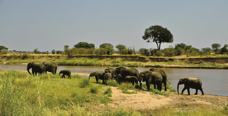 Elefantenherde am Mara Fluss in der Serengeti