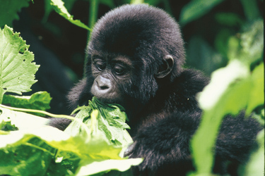 Junger Gorilla im Bwindi Impenetrable Forest