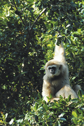 Gibbon im Khao Yai Nationalpark