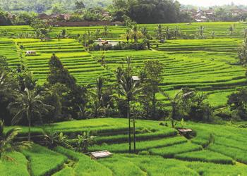 Reisterrassen in Bali - © Kelana DMC