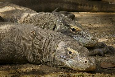 Komodo Warane -© Jennifer Hayes