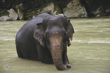 Elefant beim Baden