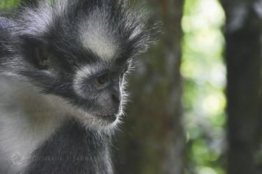 Baby-Affe auf Sumatra