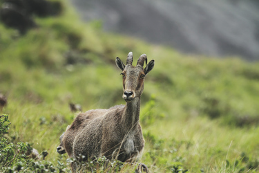 Bergziege Nilgiri Tahr