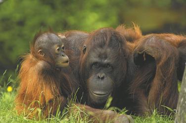 Orang-Utan im Regenwald von Borneo, ©Kelana DMC, Indonesien