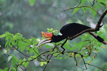 Hornbill (Nashornvogel) auf Borneo