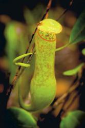 Kannenpflanze im Bako Nationalpark