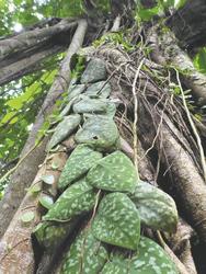 Pflanzen im Regenwald von Borneo