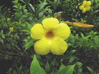 Blume im tropischen Regenwald von Borneo