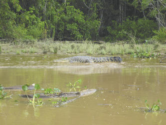 Krokodil im Kinabatangan River