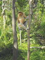 Ein Nasenaffe auf Borneo