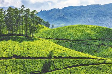 Teeplantagen, ©Aberkrombie & Kent India