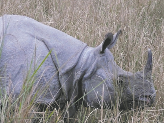Nashorn im Kaziranga Nationalpark, ©Local Roots