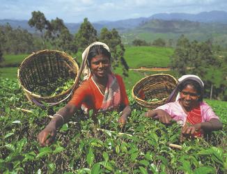 Teepflückerinnen im Hochland von Nuwara Eliya