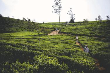 Teeplantage in Nuwara Eliya