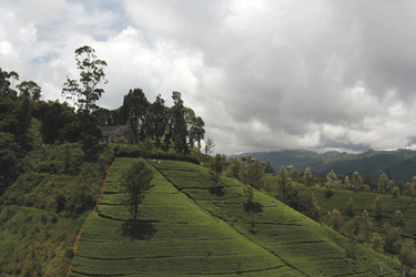 Wolkenverhangene Teeplantagen