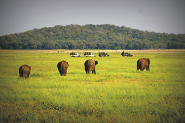 Elefantensafari im Minneriya Nationalpark
