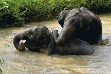 Elefanten beim Baden im Khao Sok Nationalpark