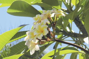 Frangipani Blume, ©Julia Gerber