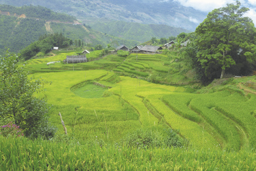 Reisfelder in Sapa, Vietnam