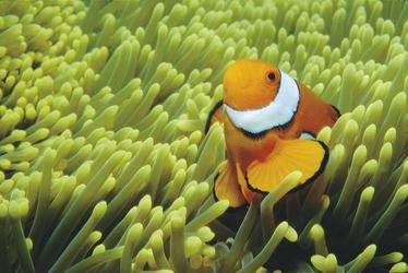Clownfisch in seiner Annemone