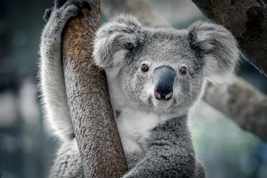 Aufmerksamer Koala