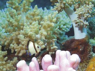 Rifffisch zwischen Korallen