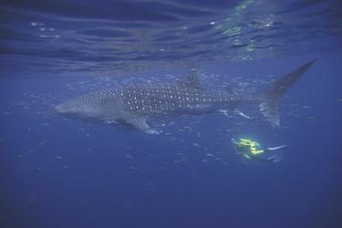 Schnorcheln mit dem Walhai