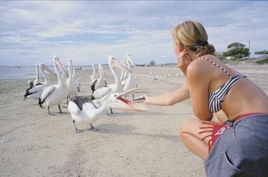 Zutrauliche Pelikane