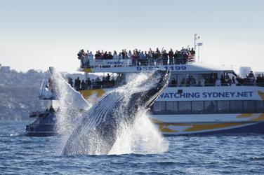 Walbeobachtung im Hafen von Sydney
