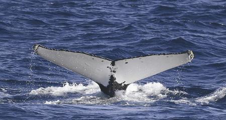 Wal vor Sydney