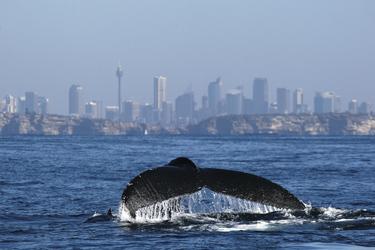 Wale im Hafen von Sydney ©jonas liebschner
