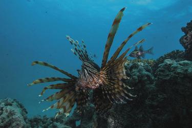 Rotfeuerfisch ©Scott Portelli