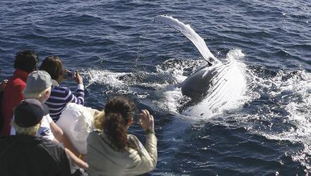 Walbeobachtung in Sydneys Hafen