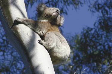 Koala gesichtet!