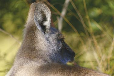 Entspanntes Känguru