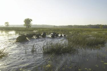 Wasserbüffel, Bamurru Plains ©Peter Eve