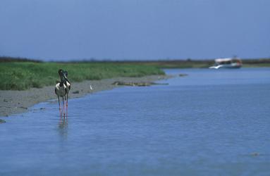 Jabiru im Mary River Naturreservat