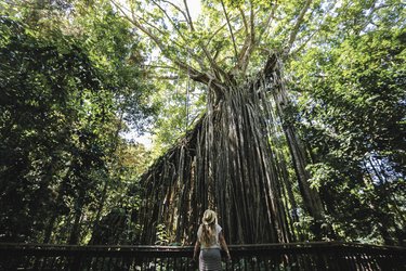 Curtain Fig Tree, ©Elizabeth Carlson/Tourism & Events Queensland