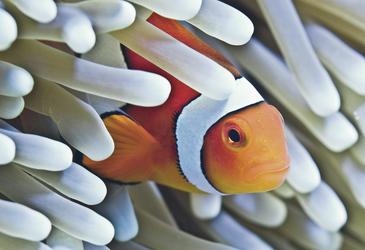 Clown Fisch