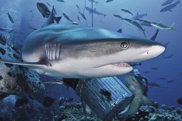 Beim Haitauchgang