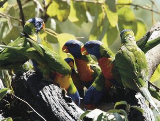 Buntgefiederte Papageien