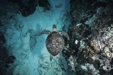 Schildkröte vor Lady Elliott Island